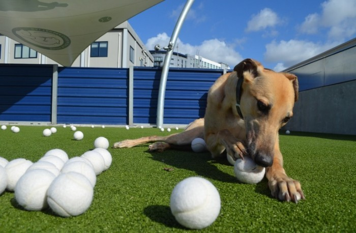 Battersea Shandy tennis balls chewing
