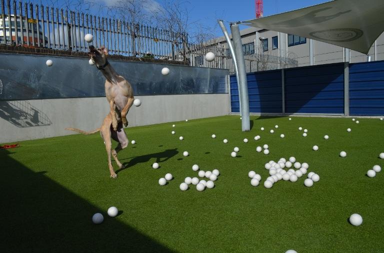 Battersea Shandy tennis balls jumping