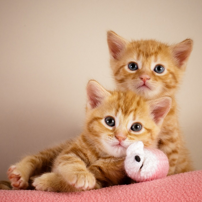 Battersea dogs & cats home royal baby ginger kittens
