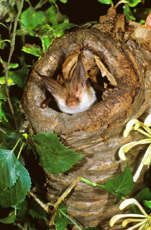 Brown long-eared in hole  (1)