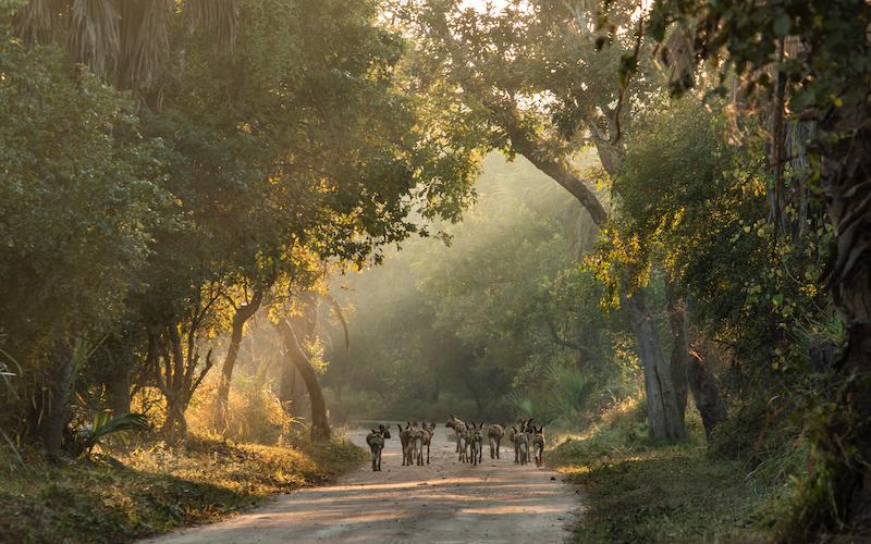 Wild dogs walking between trees.