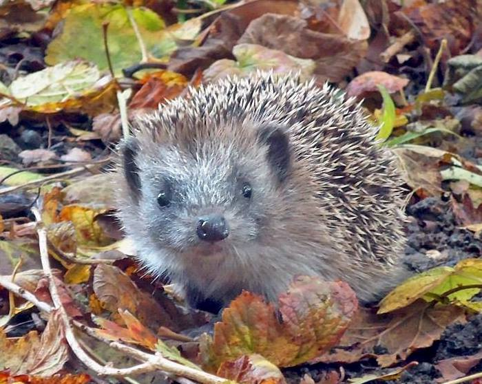 Hedgehog pic courtesy of Sonora Case
