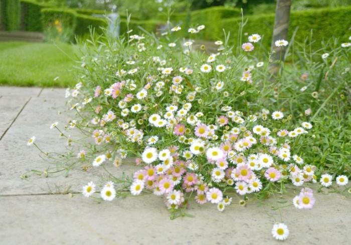Richmond Hill Open Gardens daisies