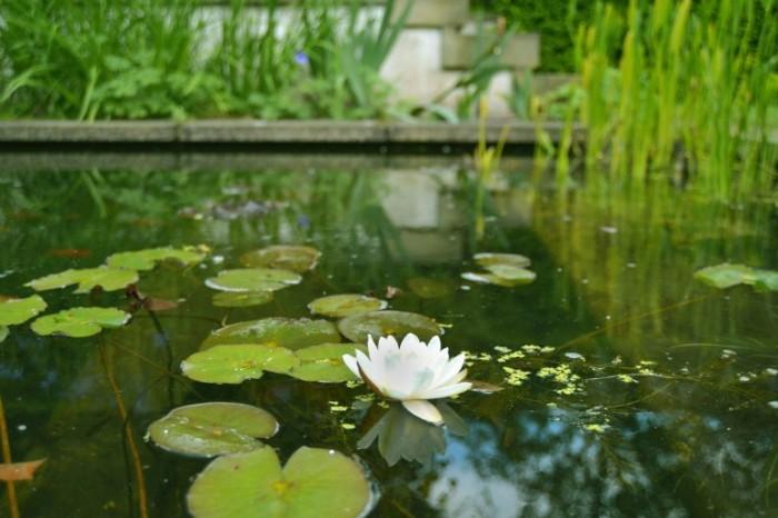 Richmond Hill Open Gardens pond lily pad