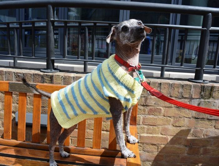 Skippy Mexican hairless dog stripy lemon jumper Battersea