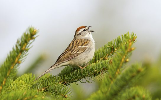 Singing sparrow sits on a pine tree branch