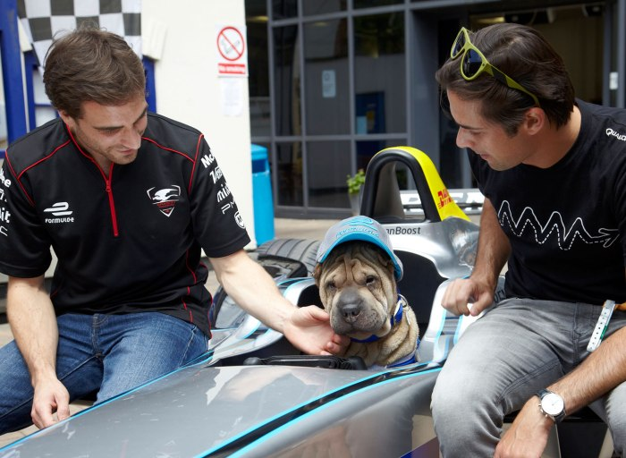 battersea dogs and cats home sharpei 2
