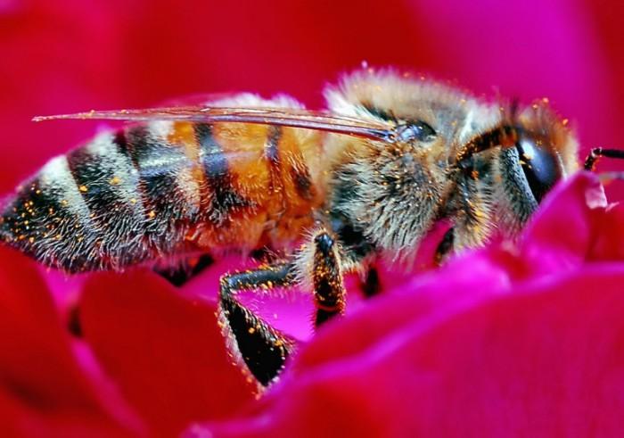 bee pink flower flickr Steve Wall
