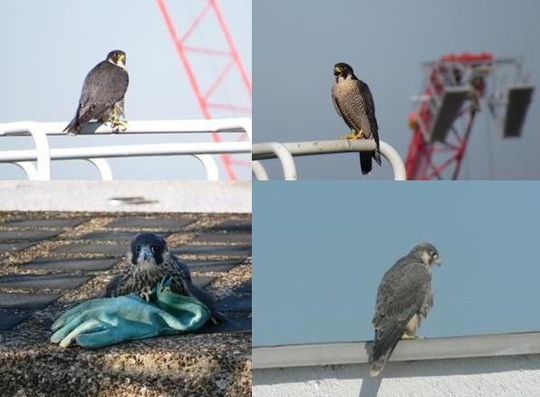 falcon 1-tile