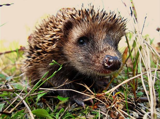 hedgehog flickr Alexander Olm