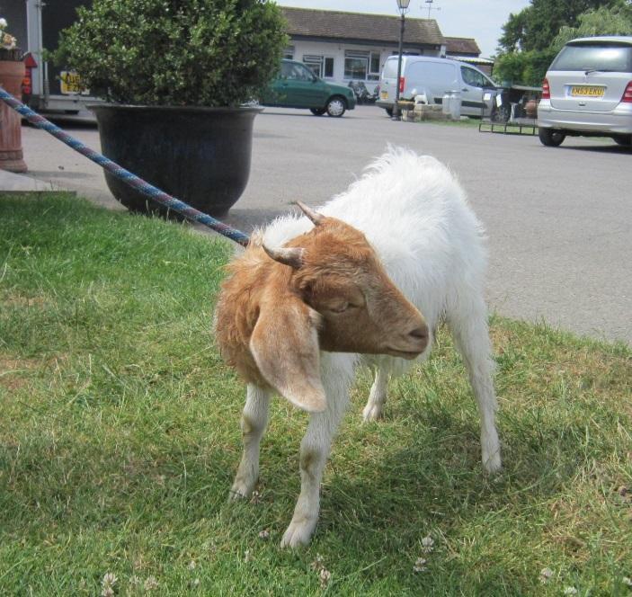 pygmy goat lost on lead