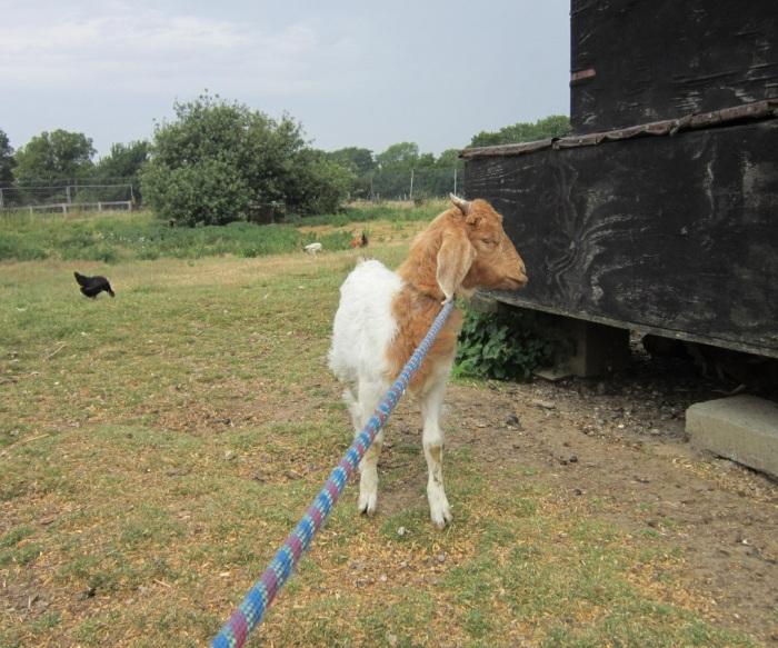 pygmy goat lost profile shot
