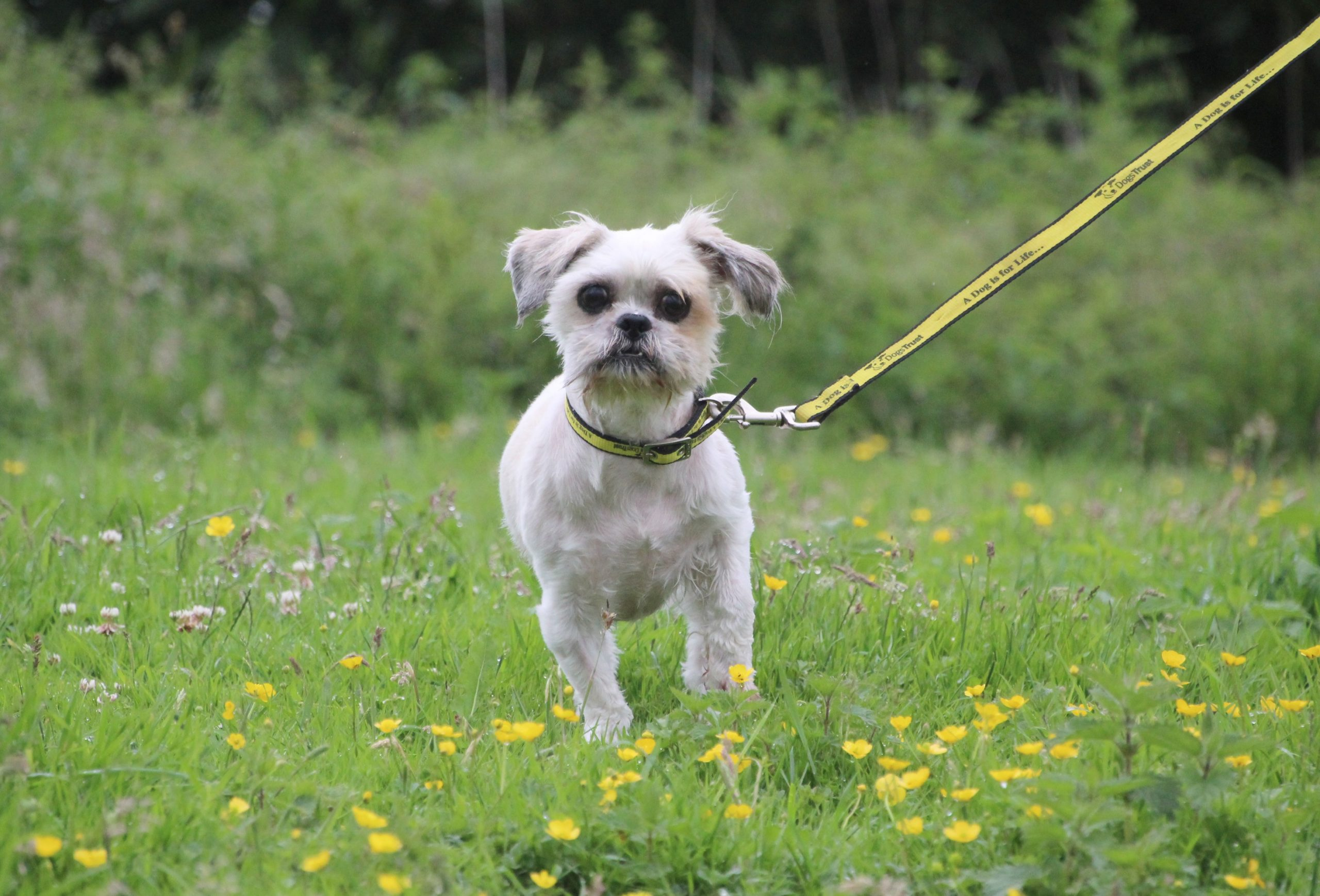 A much happier looking Lhasa Apso white dog after a major hair cut. You can see his big grown eyes now. He is on a yellow lead running through short grass dotted with buttercups. (Credit: Dogs Trust)