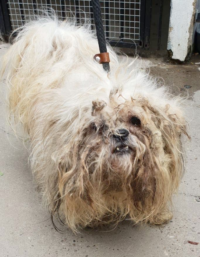 An extremely furry white Lhasa Apso dog. His fur is very matted and dirty around the face. He looks very sad. He is standing up looking at the camera above him. (Credit: Dogs Trust)