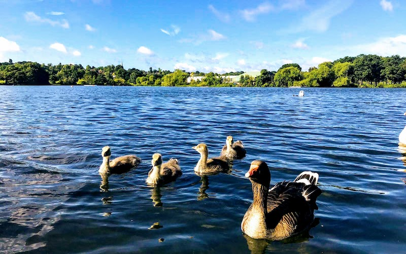 A family of ducks swim in Wimbledon Park