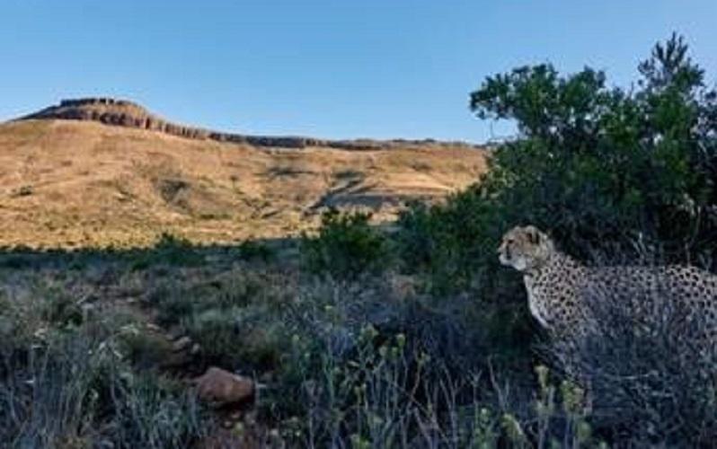 cheetah-2.jpg