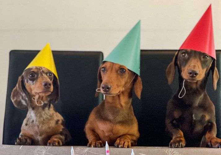Three sausage dogs wearing hats at a birthday party