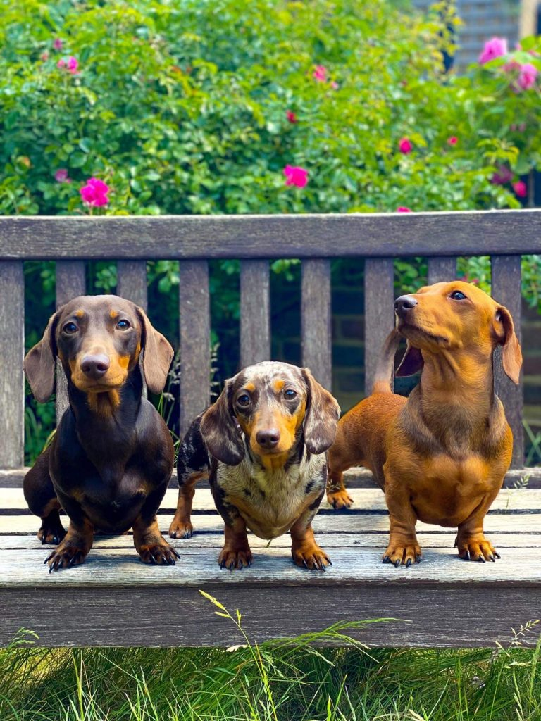 Mini sausage dog and her two puppies on a garden bench