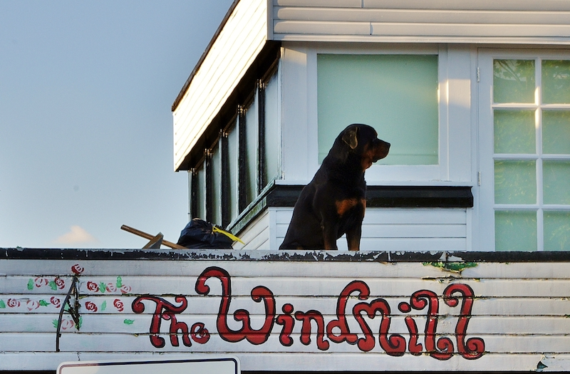 A dog stands on the roof of iconic Windmill Brixton