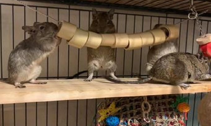 Degus playing in their cage