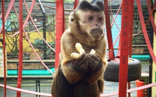 Diablo the Capuchin Monkey at Battersea Park Zoo
