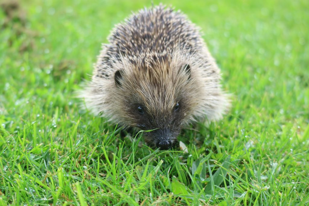 hedgehog road signs save the lives of the endangered species