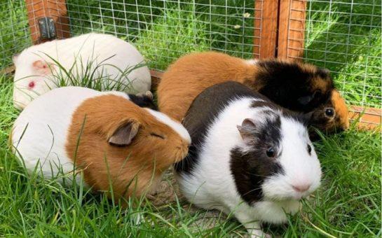 Four guinea pigs
