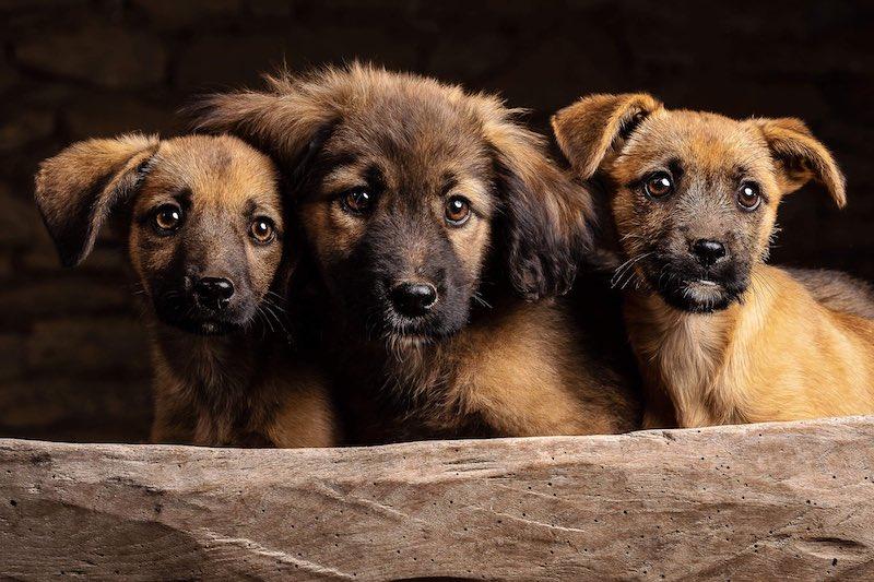 three brown fur puppies