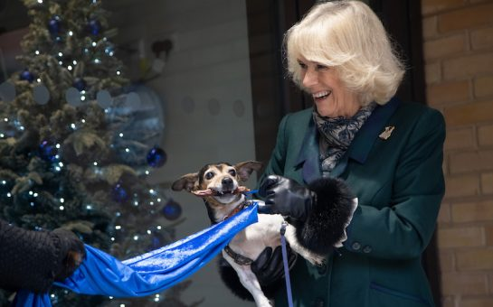 The Duchess of Cornwall holds Jack Russell Terrier pulling a rope with its teeth to unveil a plaque. Christmas tree in background.