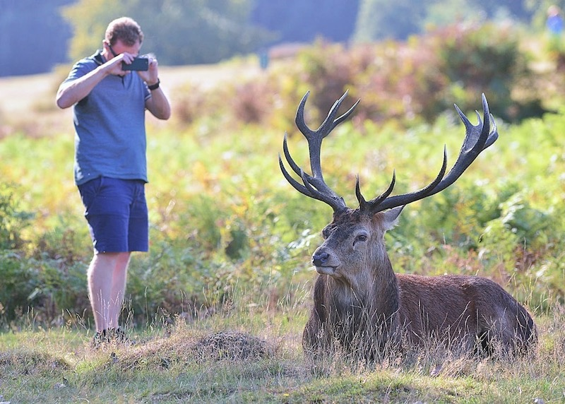 Deer safety Richmond Park