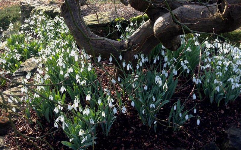 Snowdrops flowering in the Rock Garden in Kew Gardens