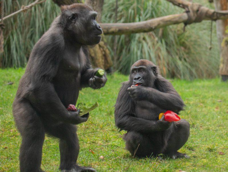 Gorillas tuck into veggie breakfast at ZSL London Zoo