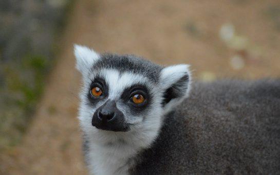 A lemur at Battersea Park Children's Zoo