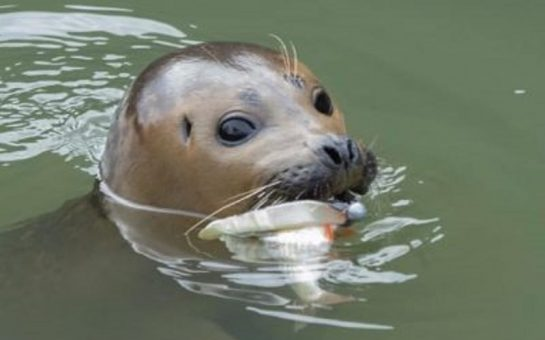 Seal in thames with fishing hook and fish in mouth