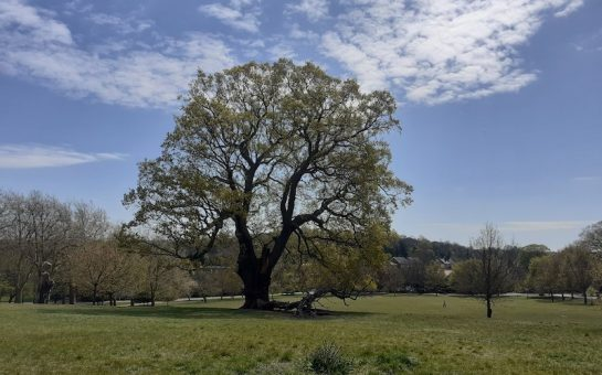 a photo of the oak tree in Brockwell Park. The 19m branch is lying on the ground next to it.