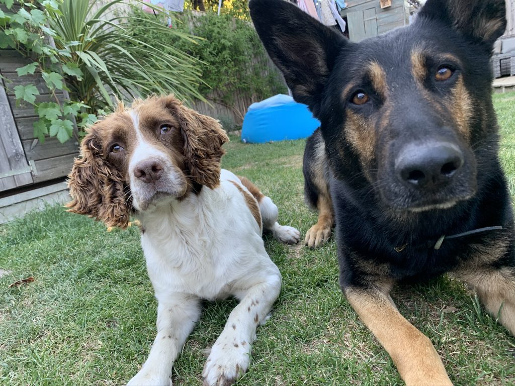 Phil's pawleagues: Working police dogs Parker and Quinn