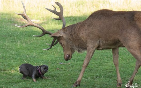 A French Bulldog faces down a deer