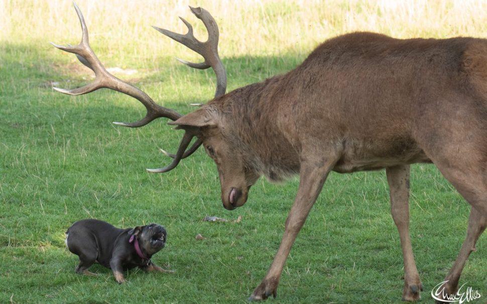 A French Bulldog faces down a deer