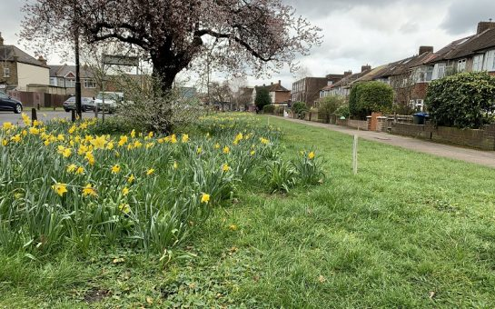 daffodils on bushey road