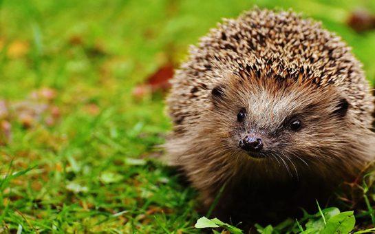 Hedgehog Highway Garden London Hedgehogs