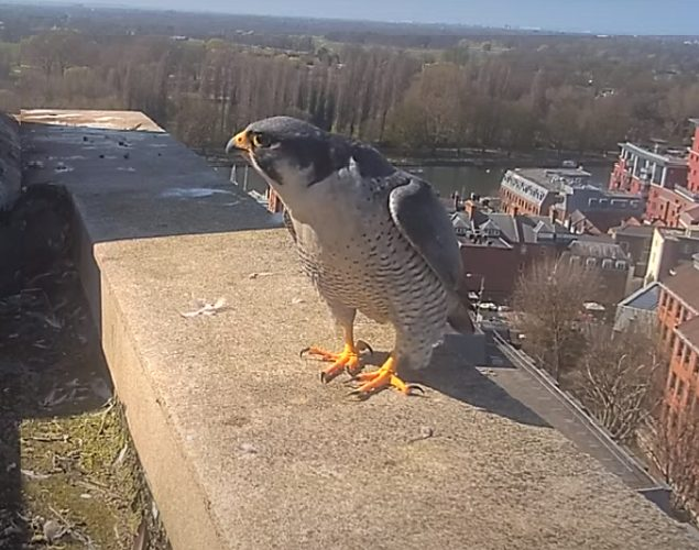 Peregrine falcon basking in sunshine on roof of Kingston College.