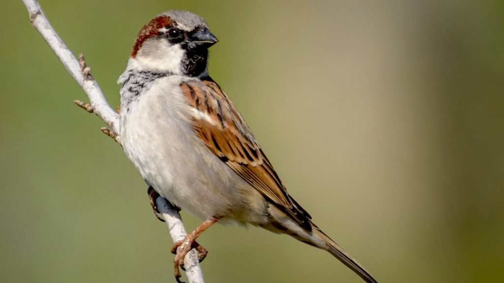 London's most seen bird, the house sparrow perched on a branch.