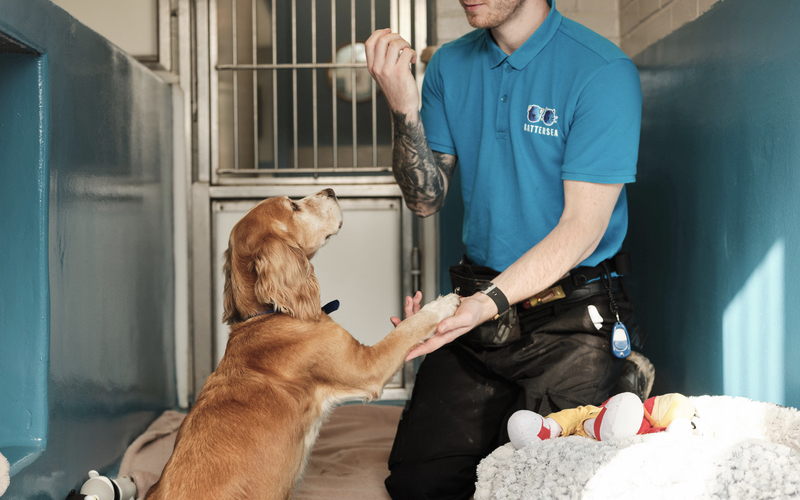 A male Battersea trainer wearing a blue top with Battersea's logo on teaches a puppy to shake hands. They are inside, and a fluffy puppy bed with a toy on it is in front of the man. Blankets and toys are strewn on the floor, and it looks like a happy environment.