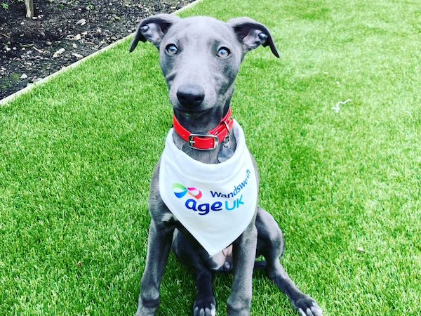 Vimy the Whippet ready to earn some money