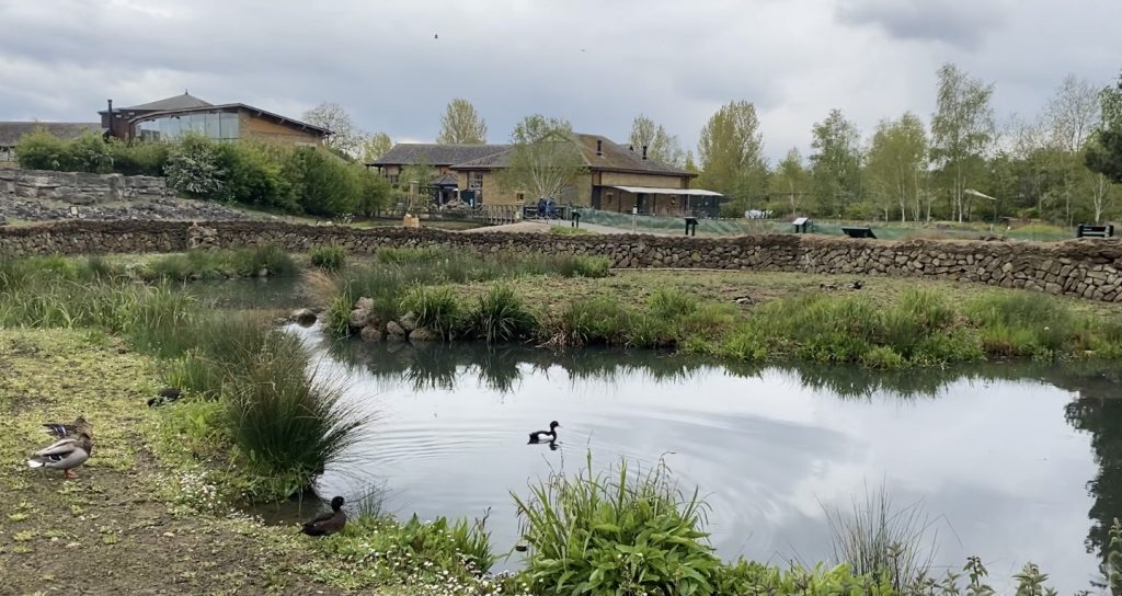 A pond surrounded by greenery and inhabited by several species of bird at London Wetland Centre