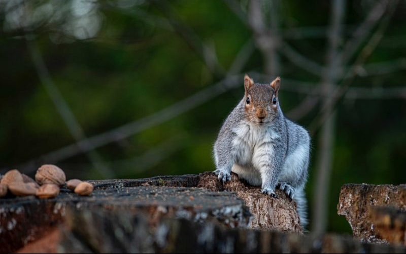 A grey squirrel perched on a log, staring at the camera. One of the species seen during Living with Mammals.