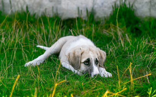 White puppy lying down on the grass