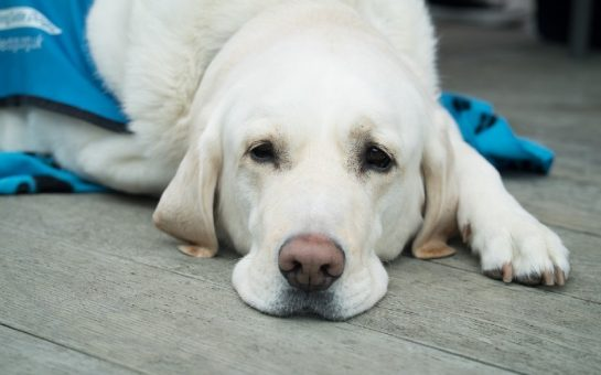 white guide dog