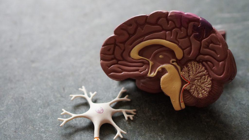 Toy brain with neurone beside it