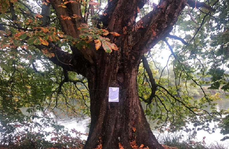 One of the historic trees in Orleans Gardenswith a notice pinned announcing plans to pollard
